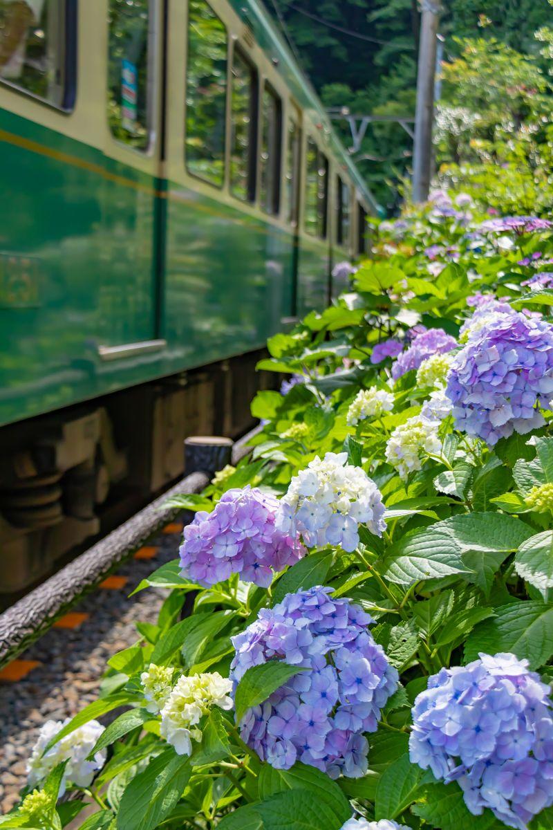 màu sắc của hoa Ajisai thay đổi phụ thuộc vào môi trường.