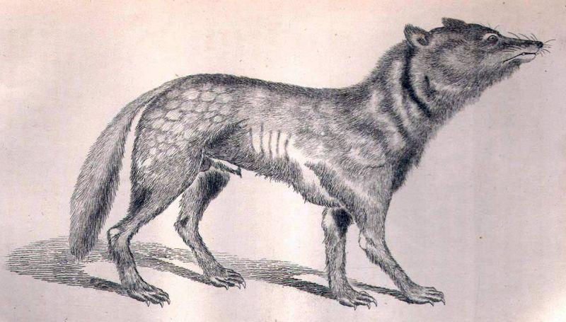 vì sao chó sói Nhật tuyệt chủng?
