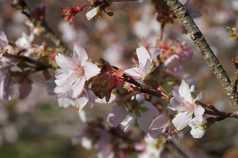 Ngắm hoa anh đào bốn mùa ở thành phố Toyota