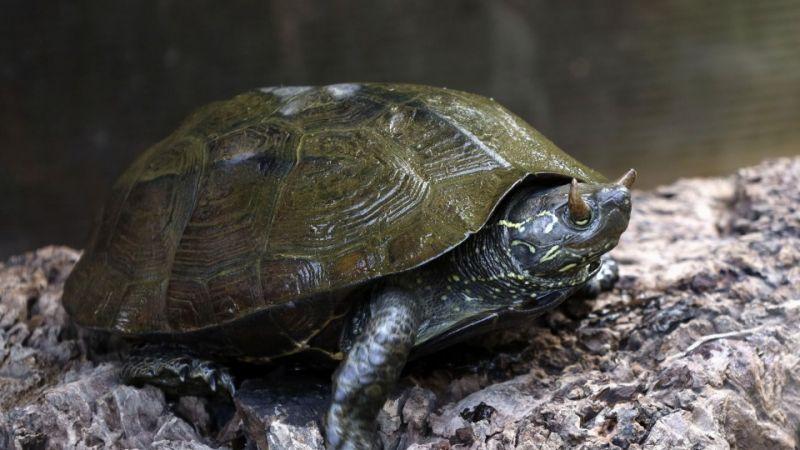 rùa có sừng