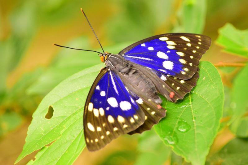 Oomurasaki: Quốc bướm huyền bí của người Nhật
