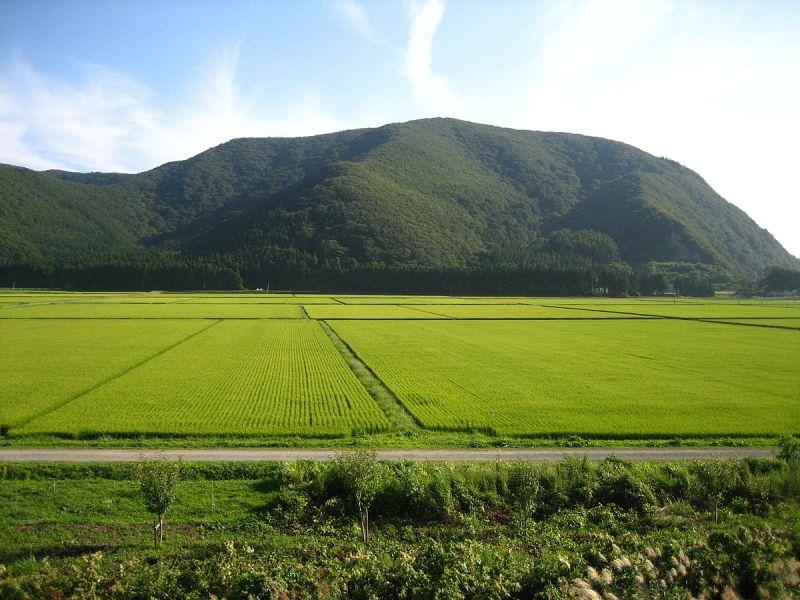 Nhật Bản phát triển thành công giống lúa chịu mặn