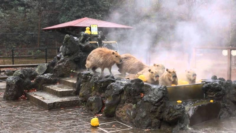 capybara ngâm onsen