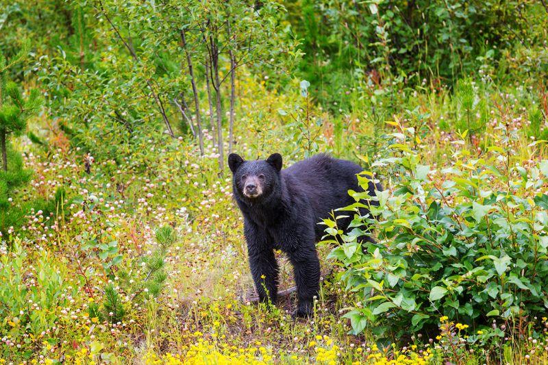 Gấu xuất hiện trong cộng đồng