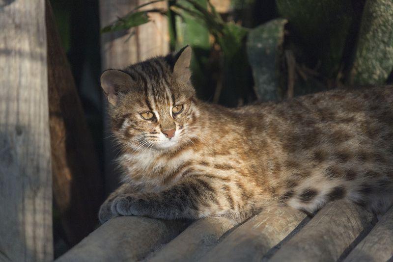 Mèo báo Tsushimayama