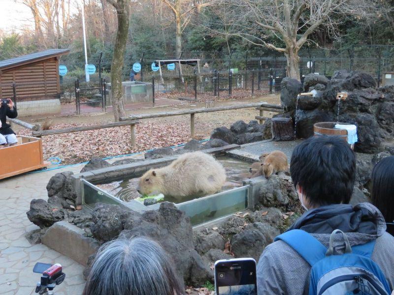 ở Nhật có hẳn cuộc thi tắm Onsen cho chuột lang nước