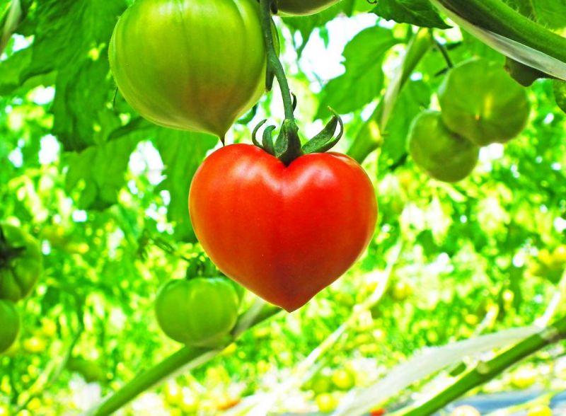 cà chua gây bão mạng xã hội