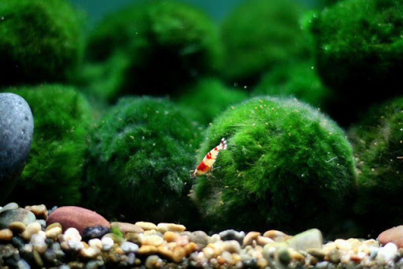 những quả cầu tảo đáng yêu đến từ Nhật Bản