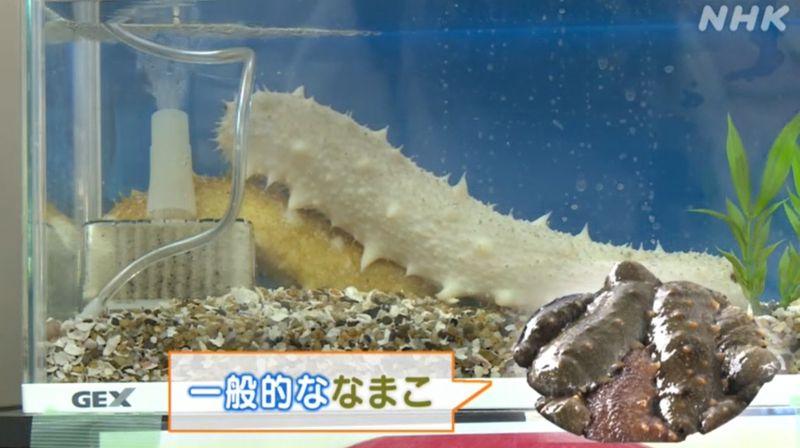 hải sâm quý hiếm được tìm thấy ở tỉnh Nagasaki