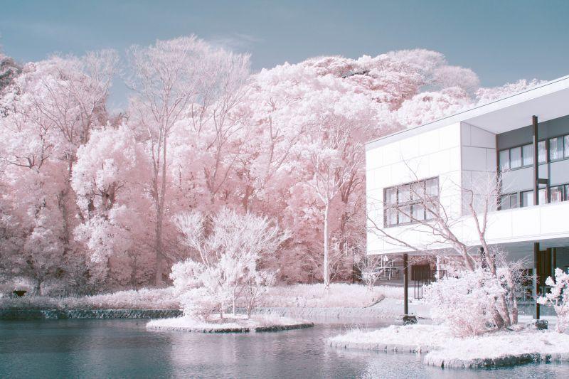 ảnh chụp Sakura bằng máy ảnh hồng ngoại