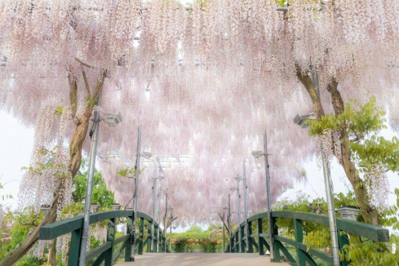 lễ hội hoa tử đằng tại công viên Ashikaga