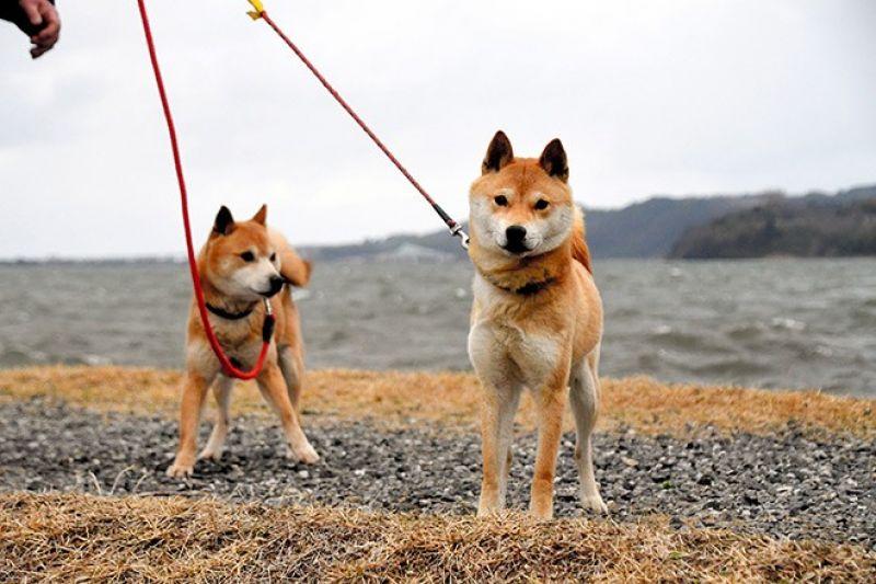 hành trình giải cứu giống chó Sanin Shiba khỏi tuyệt chủng
