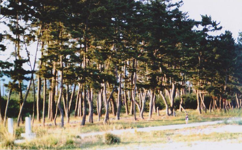 cây cô đơn biểu tượng tinh thần mạnh mẽ của người Nhật